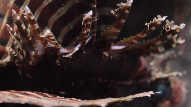 zebra lionfish (dendrochirus zebra) on reef, sulawesi, indonesia - lionfish stock videos & royalty-free footage