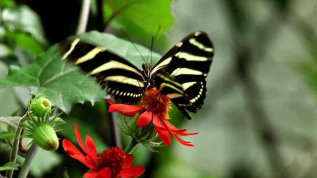 Zebra longwing butterflies feeding