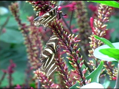 vídeos de stock e filmes b-roll de heliconius charitonius 2 ntsc (3 clips!!! - grupo pequeno de animais