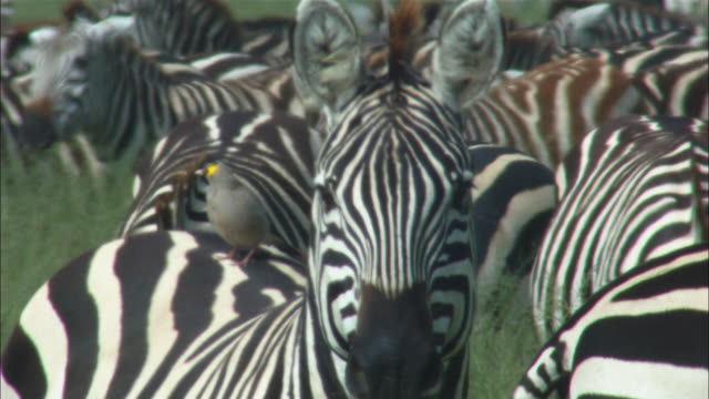 CU zebra looking at camera with dense herd in background