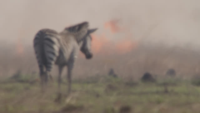Zebra (Equus quagga) on burning savannah in heat haze, Zambia