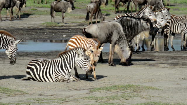 Zebra Parents and Baby