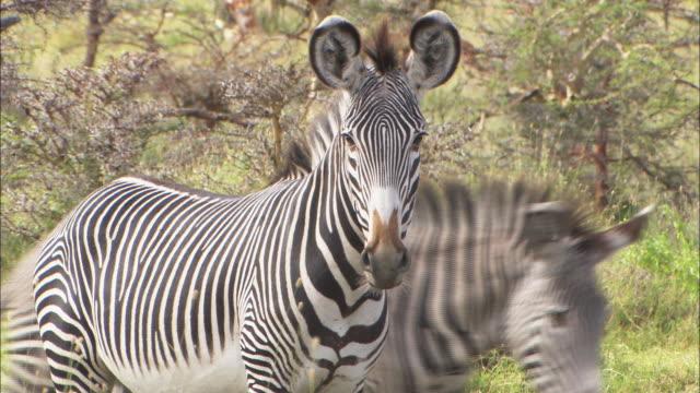 a zebra protectively guards its herd. - シマウマ点の映像素材/bロール