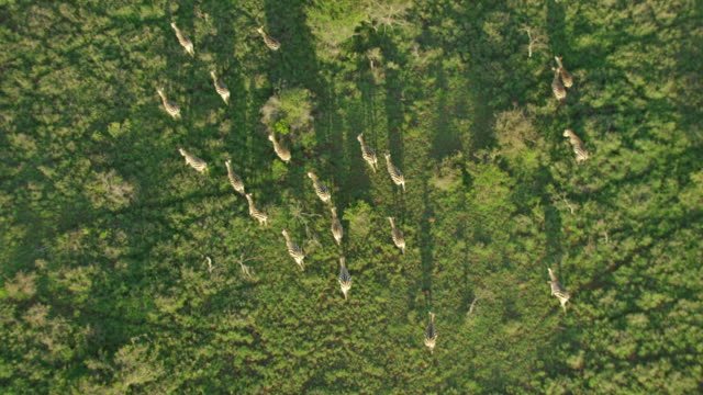 WS AERIAL TS Zebra running on green landscape / Kenya