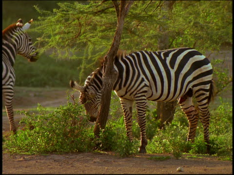 zebra scratching neck on tree / other zebras in background / serengeti, tanzania, africa - piccolo gruppo di animali video stock e b–roll