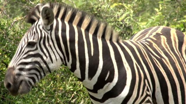 vidéos et rushes de ms zebra shaking it's mane / pilanesberg national park/ north west province/ south africa - animal hair