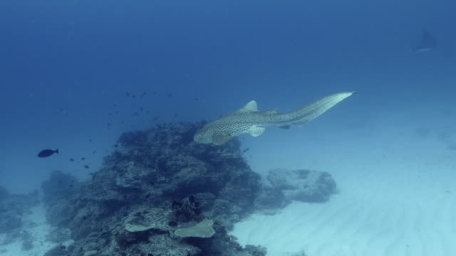 Zebra shark and scuba divers