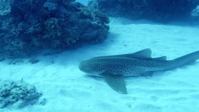 zebra shark - south pacific ocean点の映像素材/bロール
