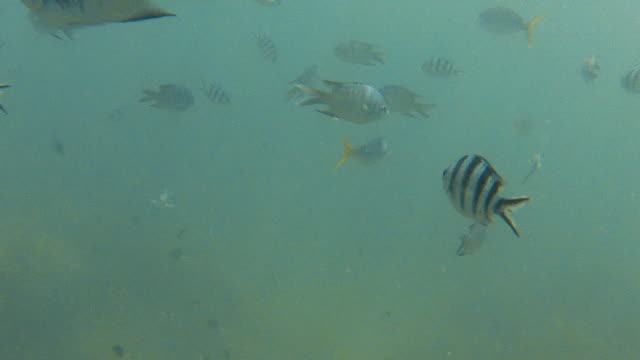 Zebra skin fish and yellowfin fish underwater