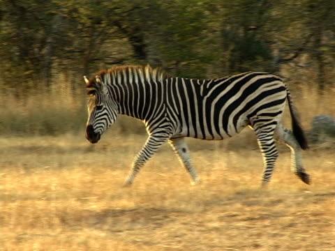stockvideo's en b-roll-footage met zebra stallion - vachtpatroon