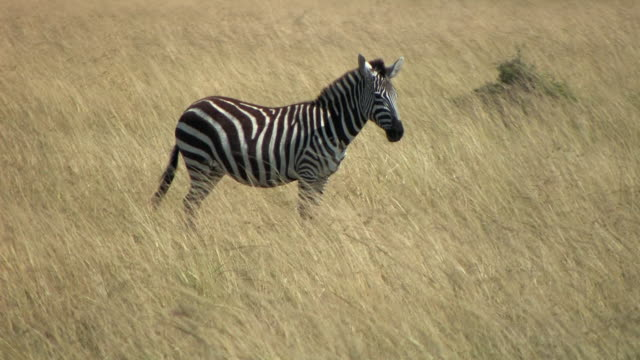 ms, zebra (equus burchellii) standing in grass in savanna, masai mara, kenya - steppenzebra stock-videos und b-roll-filmmaterial