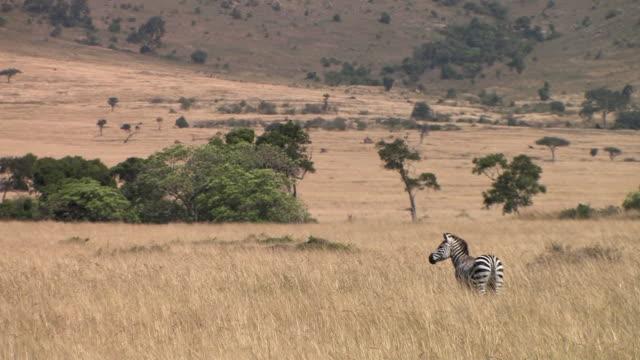 ws, zebra (equus burchellii) standing in grass in savanna, rear view, masai mara, kenya - steppenzebra stock-videos und b-roll-filmmaterial
