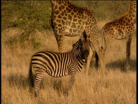 zebra standing in long dry grass zoom out to show two giraffe standing behind zebra walks away - krüger nationalpark stock-videos und b-roll-filmmaterial