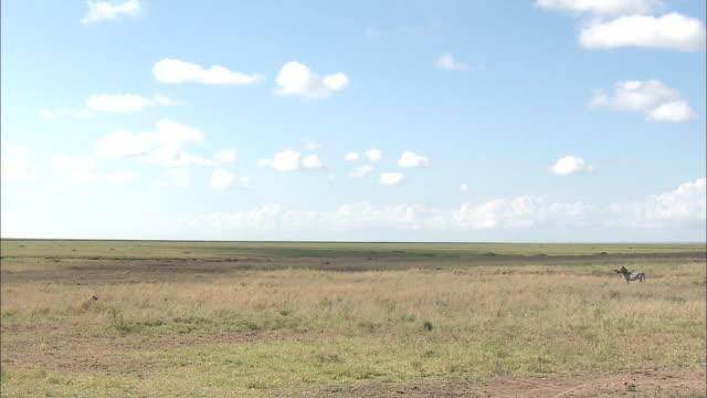 a zebra standing on the wide open plain at serengeti national park, tanzania - 野生生物保護点の映像素材/bロール