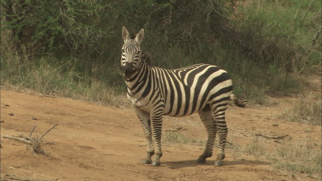 A zebra stands in a clearing and stares directly at the camera.