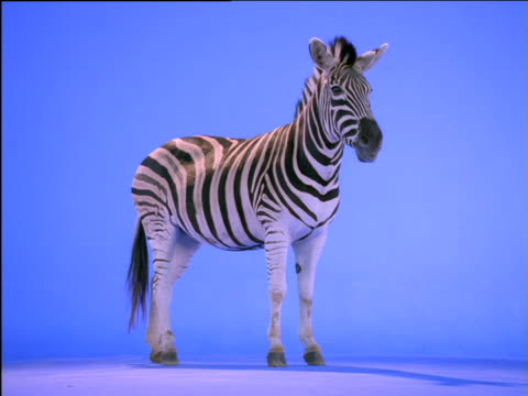 Zebra stands still then moves off