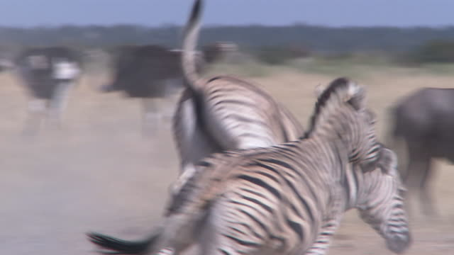 a zebra stirs up dust as it runs and kicks up its hind legs. available in hd. - kicking stock videos & royalty-free footage