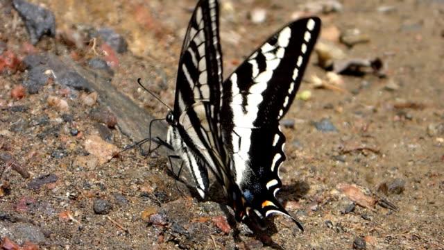 Zebra stripped pale swallowtail feeding Waterton Canyon Littleton Colorado