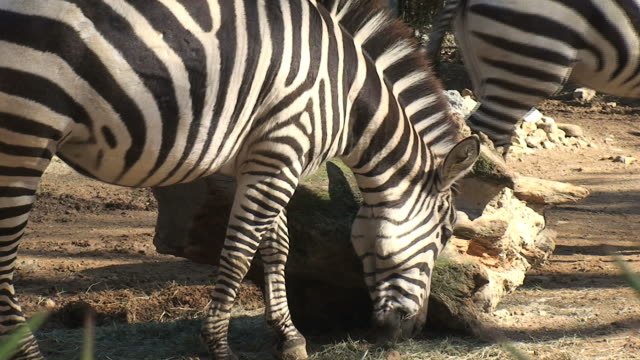 stockvideo's en b-roll-footage met zebra - dierentuin