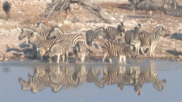 vídeos de stock, filmes e b-roll de zebra - caldeirão água parada