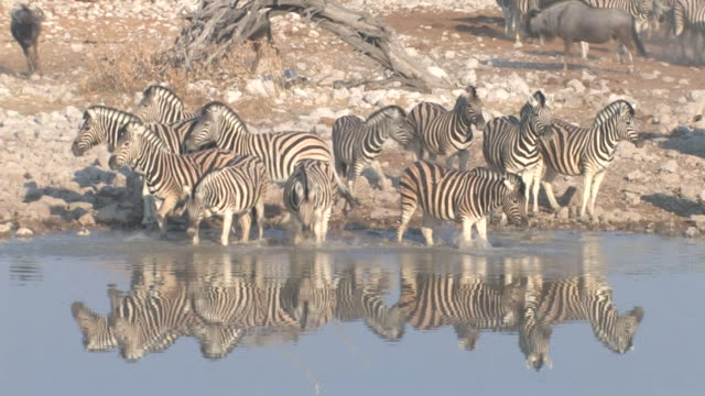 zebra - wasserloch stock-videos und b-roll-filmmaterial