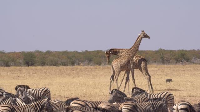 zebra - växtätare bildbanksvideor och videomaterial från bakom kulisserna