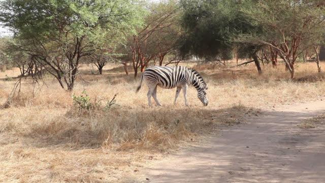 zebra - 一匹点の映像素材/bロール