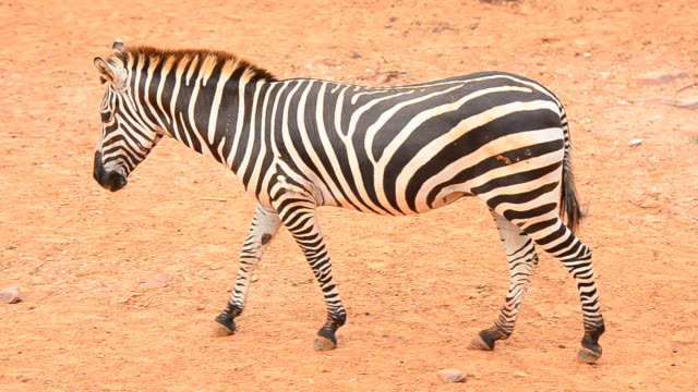 zebra - one animal stock videos & royalty-free footage