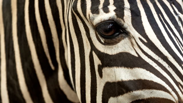 zebra - animal eye stock videos & royalty-free footage