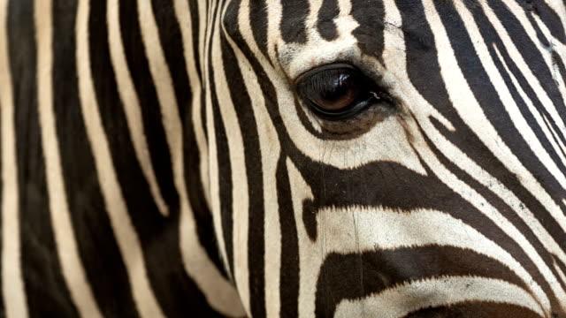 zebra - djuröga bildbanksvideor och videomaterial från bakom kulisserna