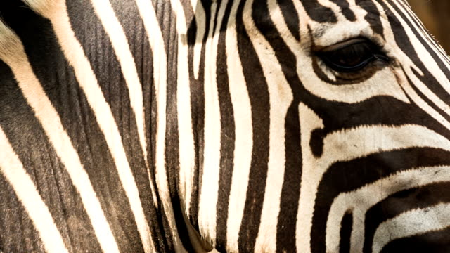 zebra - zebra stock-videos und b-roll-filmmaterial