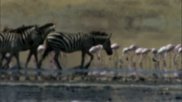 Zebra (Equus quagga) wade through salt lake in heat haze, Lake Magadi, Kenya