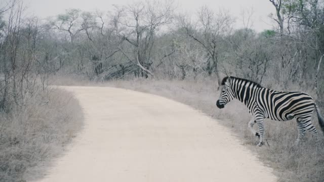 zebra walking and drinking in south africa in 4k super slow motion - zebra print stock videos & royalty-free footage