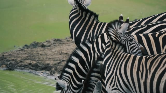zebra walking and drinking in south africa in 4k super slow motion - zebramuster stock-videos und b-roll-filmmaterial