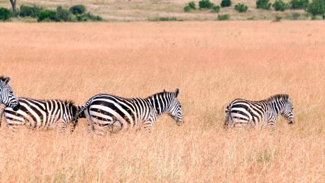 シマウマのサバンナ - 移行で散歩 - 動物の色点の映像素材/bロール
