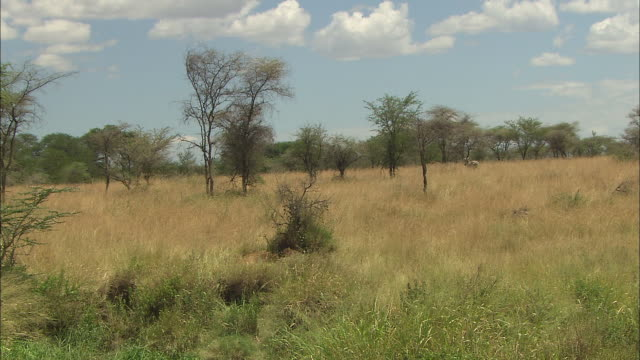 a zebra walking in the bushes at serengeti national park, tanzania - zebra print stock videos & royalty-free footage