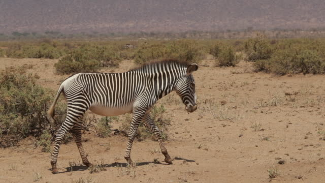 vídeos de stock, filmes e b-roll de zebra walking in the wild - um animal