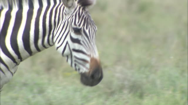 A zebra walking on the grass in Serengeti National Park, Tanzania