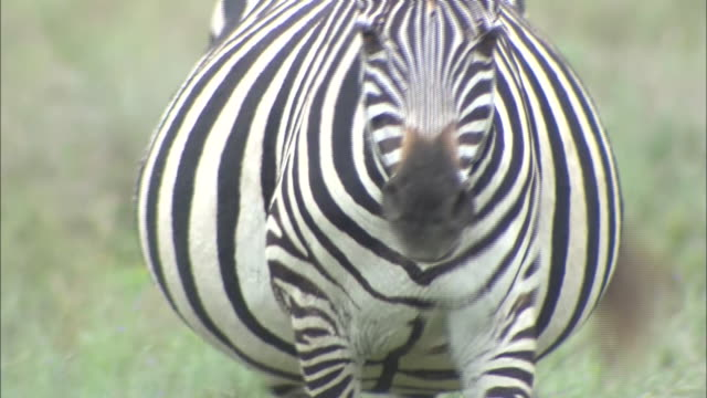 a zebra walking on the grass in serengeti national park, tanzania - zebramuster stock-videos und b-roll-filmmaterial