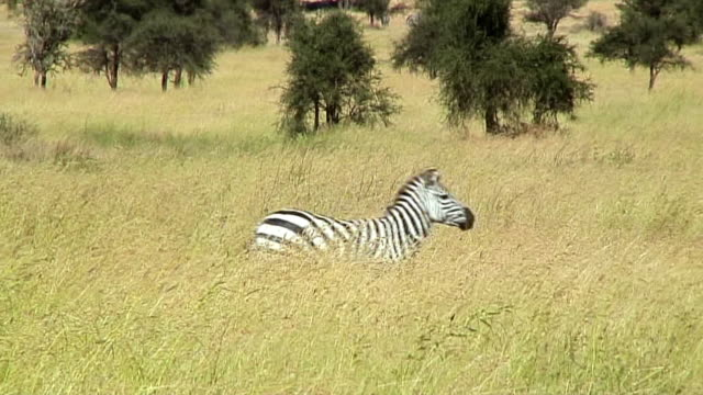 WS Zebra walking through grass, Serengeti, Tanzania