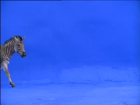 zebra walks across frame - zebra stock-videos und b-roll-filmmaterial