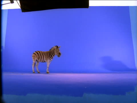 Zebra walks into frame then stops and chews