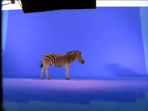 Zebra walks into frame then stops