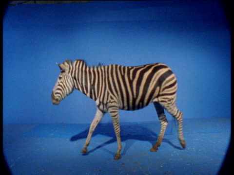 Zebra walks right to left against blue screen