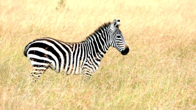 zebra in savannah zu beobachten - zebra stock-videos und b-roll-filmmaterial