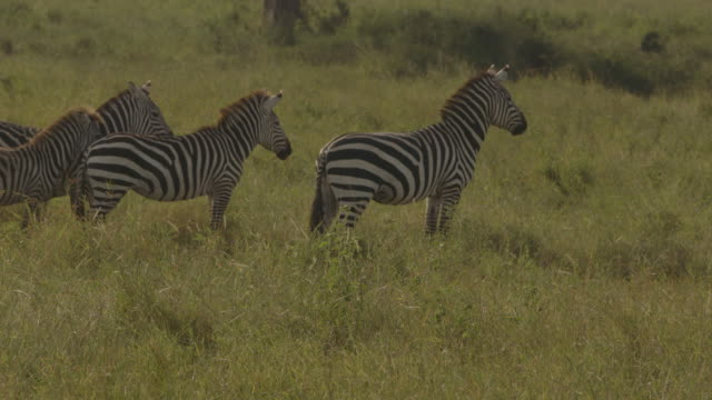zebra with a foal look intently at a lioness resting in serengeti grass, tanzania. - 子馬点の映像素材/bロール