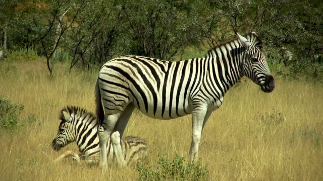 zebra_mother and foal - staring stock videos & royalty-free footage