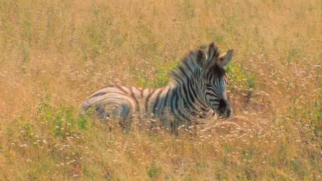 vídeos y material grabado en eventos de stock de zebrafohlen - tumbado boca abajo