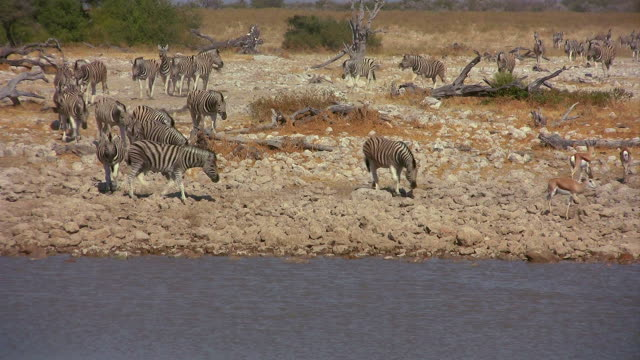 Zebras and antelopes - water whole
