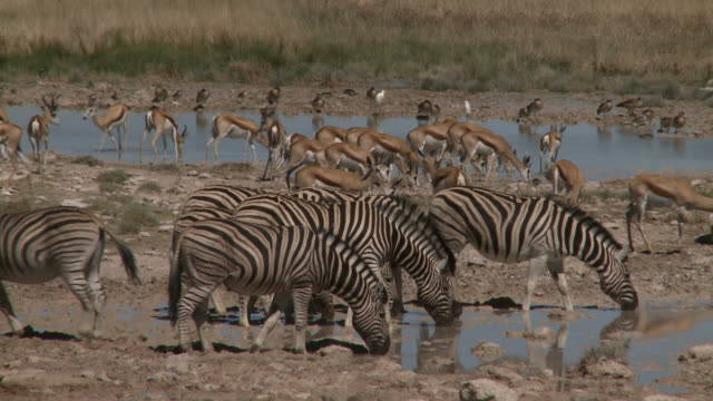 Zebras and Springboks